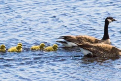 MG_9328-Canadian-Geese-with-Goslings