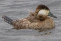 MG_9382-Ruddy-Duck