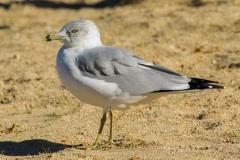 MG_9522-Ring-Billed-Gull