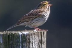 MG_9606-Savannah-Sparrow