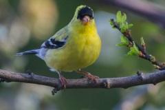 MG_9689-Goild-Finch-male