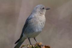 MG_9722-Mountain-Bluebird-female