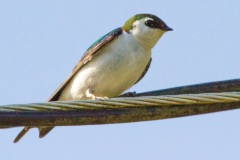 MG_9740-violet-green-swallow-male