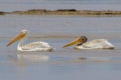 MG_9772-American-White-Pelicans