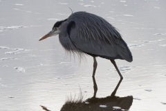 MG_9827-Great-Blue-Heron