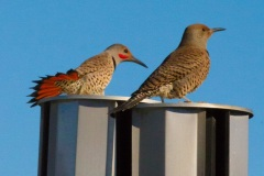 MG_9845-Red-Shafted-Flickers-courting
