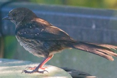 MG_9971-Juvenile-Spotted-Towhee