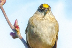 1_MG_3256-Gold-crowned-Sparrow