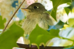 IMG_9060-Pacific-Slope-Flycatcher