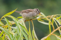 IMG_9396-White-Crowned-Sparrow-juvenile