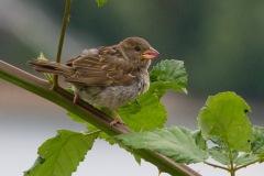 IMG_9431-House-Sparrow-juvenile