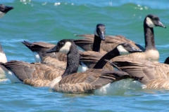 IMG_9449-Cackling-Geese