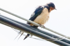 IMG_9480-Barn-Swallow