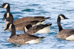 IMG_9595-Canada-Geese