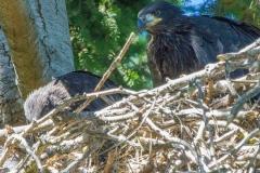 MG_0021-Bald-Eagle-nestlings