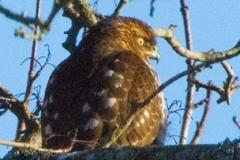 MG_0032-2-Sharp-shinned-Hawk