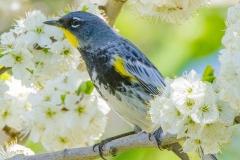 MG_0270-Yellow-rumped-Warbler