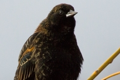 MG_0345-Red-winged-Blackbird-formative-male