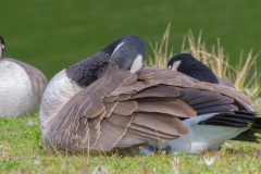 MG_0469-Canada-Cackling-Geese