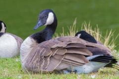 MG_0470-Canada-Cackling-Goose
