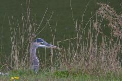 MG_0502-Great-Blue-Heron