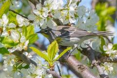 MG_0509-Yellow-rumped-Warbler