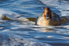 MG_0665-Green-winged-Teal-male