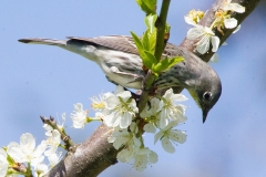 MG_0694-Yellow-rumped-Warbler
