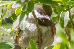 MG_0879-Chestnut-backed-Chickadee