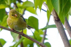 MG_0896-American-Goldfinch-female