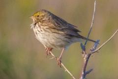 MG_1017-Savannah-Sparrow