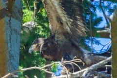 MG_1153-Bald-Eagle-nestling