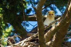 MG_1192-Bald-Eagle
