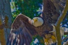 MG_1217-Bald-Eagle