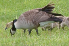 MG_2079-Canada-Goose-with-Goslings