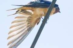 MG_2254-Barn-Swallow
