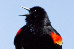 MG_2393-Red-winged-Blackbird-male