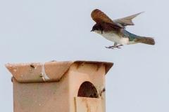 MG_2542-Tree-Swallow