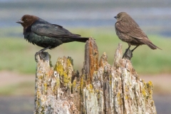 MG_2584-Brown-headed-Cowbird