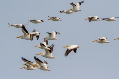 MG_2656-American-White-Pelicans
