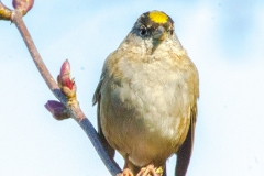 MG_3256-Gold-crowned-Sparrow