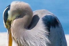 MG_3385-Great-Blue-Heron