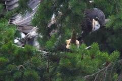 MG_3672-Bald-Eagle-nestling