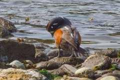 MG_3821-Harlequin-Duck-male