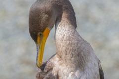MG_3897-Double-Crested-Cormorant-juvenile
