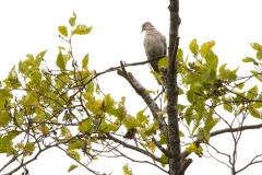MG_3898-Eurasian-Collard-Dove