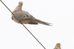 MG_4003-Mourning-Doves