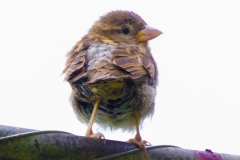 MG_4060-House-Sparrow-chick