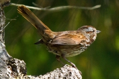 MG_4218-Song-Sparrow
