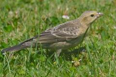 MG_4341-Brown-Headed-Cowbird